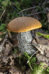 orange-cap boletus mushroom in the forest