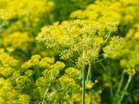 blossoming yellow dill herbs in garden