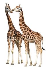 Autocollant pour porte Girafe giraffes isolated on white background