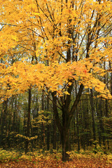 Maple with yellow leaves in autumn forest.