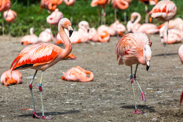 The pink Caribbean flamingo.