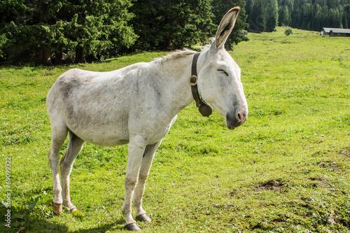 """""""white donkey&quo..."""