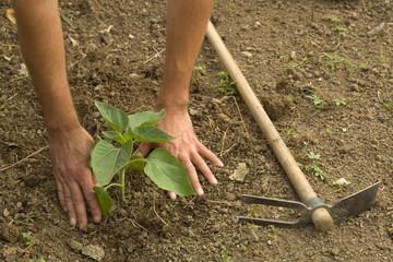 Farmer planting a sunflower little plant in the garden