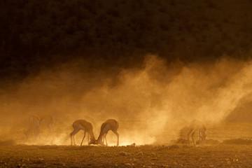 Springbok in dust at sunrise, Kalahari desert