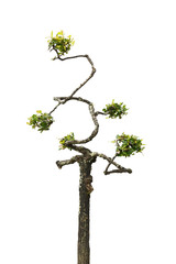 Dwarf tree isolated on white background