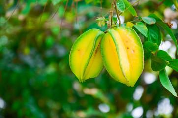 Carambola (Star Fruit) on tree