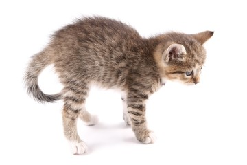 Little 30 day old kitten, bending the spine