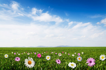 daisy and pink flower field