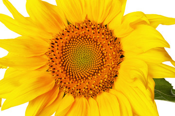 sunflower isolated on the white background