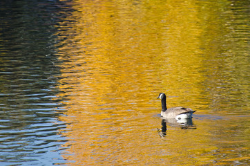 Canada Goose on an Autumn Golden Pond