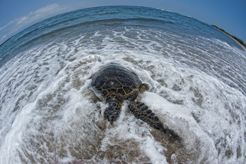 Green Turtle on sandy beach