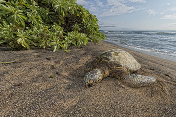 Green Turtle on sandy beach