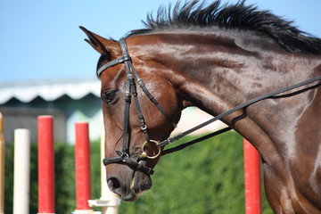 Bay beautiful sport horse with bridle portrait