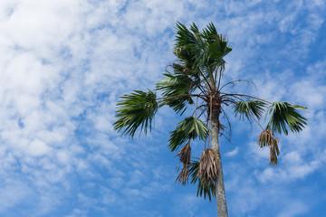 Betel Palm ( Areca )