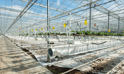 Sophisticated and large-scale strawberry cultivation on substrat