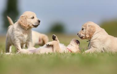 Golden retriever puppies having fun