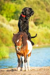 Giant schnauzer dog riding painted shetland pony