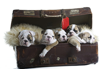 English bulldog dog puppies in an old suitcase