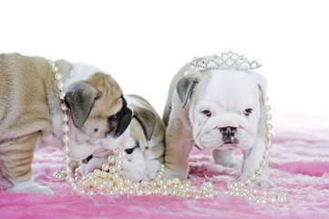 Cute english bulldog dog puppies playing
