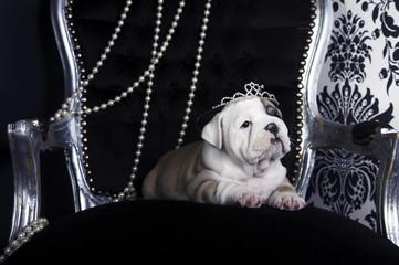 Royal english bulldog dog puppies