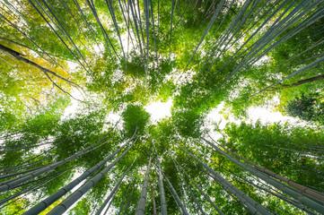 Bamboebos, bamboebos in Arashiyama, Kyoto, Japan