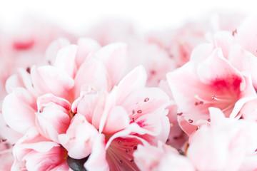 Blossoming azalea of a grade of Mevrouw Gerard Kint
