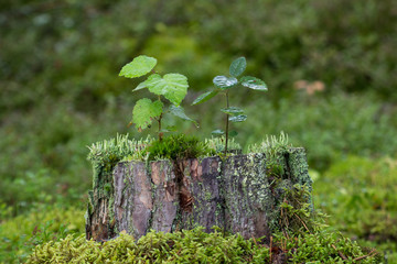 Saplings, moss and lichen on top of a stump of a tree