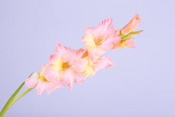 beautiful gladiolus flowers on light color background