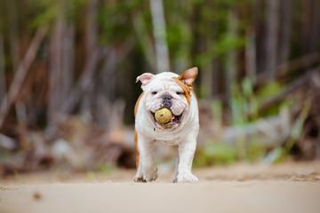 happy english bulldog with a tennis ball