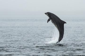 Bottlenose Dolphin (Tursiops truncatus) with Salmon