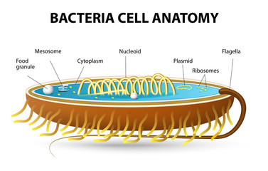 Bacteria cell anatomy