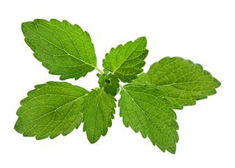 Lemon melissa herb