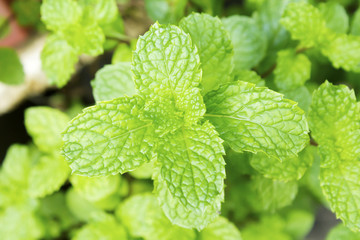 Growing mint leaves