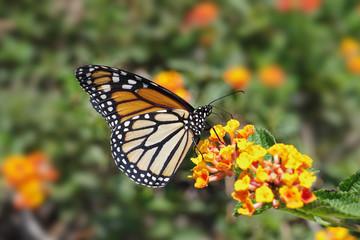 A sharp photo of a Monarch Buttefly.