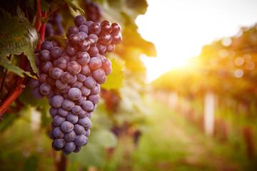 Foto auf Leinwand Weinberg Vineyards at sunset in autumn harvest