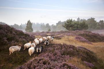 sheep on purple blooming heather
