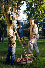 Family of three generations picking apples, father on ladder throwing apple to son (7-9)