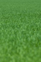 Close up of grass crop