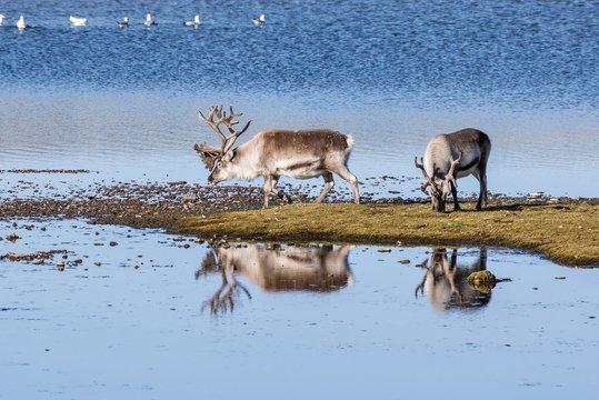 Wild reindeers by the lake - Spitsbergen