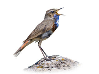 Bluethroat on white
