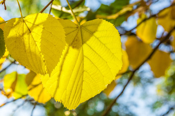 Yellow leaves of lime tree close up