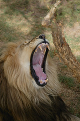 Lion yawning, Western Cape, South Africa