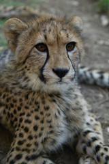 Young cheetah, South Africa