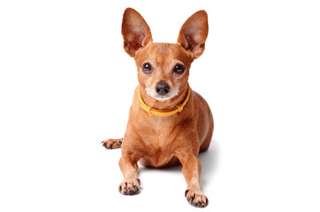 Miniature pinscher isolated on a white background