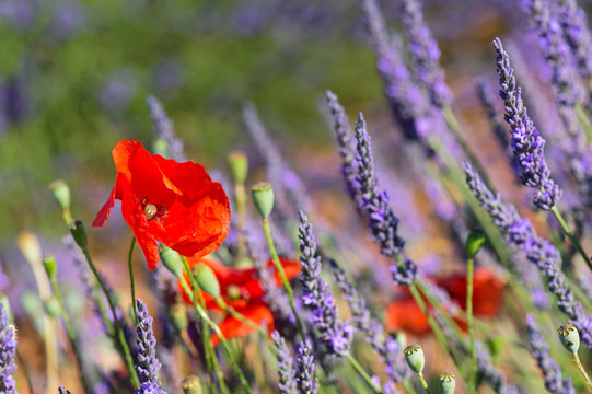 lavender field in France with red poppies