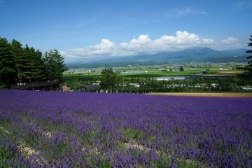 ラベンダー咲く丘