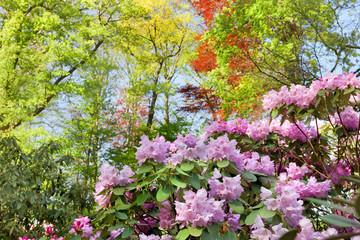 Azaleas in the spring park.