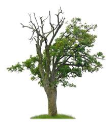 Teilweise abgestorbener uralter Birnbaum als Freisteller