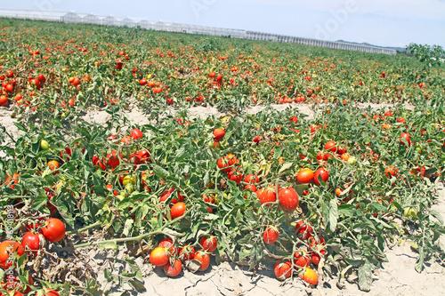Tomates roma photo libre de droits sur la banque d 39 images image 69418113 - Culture haricot vert plein champ ...
