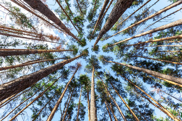 spruce trunks converge in perspective in blue sky